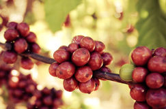 Coffee Beans cherry Royalty Free Stock Photos