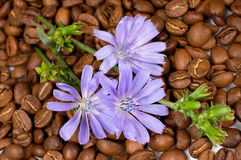 Coffee beans and chicory flowers Royalty Free Stock Photos