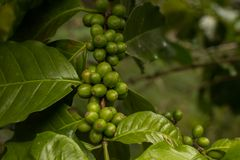 Coffee beans coffee beans  From farm. Coffee beans coffee beans , From fresh coffee , Fresh coffee beans Stock Photo