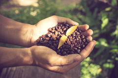 Coffee beans and coffee plant  in hands Stock Images