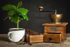 Coffee beans and coffee seedlings. Coffee trading. Crop production. Advertising the cafe. Royalty Free Stock Photography