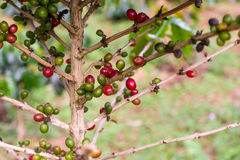 Coffee beans on coffee tree Royalty Free Stock Photography