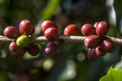 Coffee beans on coffee tree. In Brazil Royalty Free Stock Photography