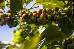 Coffee beans on coffee tree. In Brazil Stock Photos