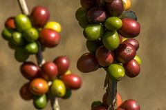 Coffee beans on coffee tree. In a farm located in Brazil Royalty Free Stock Image