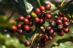 Coffee beans on coffee tree. In a field located in Brazil Royalty Free Stock Image