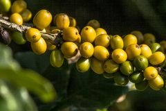 Coffee beans on coffee tree. In a fiels located  in Brazil Royalty Free Stock Photography