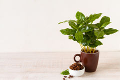 Coffee beans and coffee tree Stock Photography