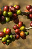 Coffee beans on coffee tree in a farm. Coffee beans on coffee tree in Brazil Royalty Free Stock Image