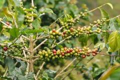 Coffee beans on coffee tree stock image