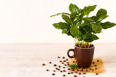 Coffee beans and coffee tree Royalty Free Stock Photos