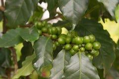 Coffee beans on coffee tree. Stock Photography