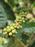 Coffee beans on coffee tree. Raw coffee beans on coffee tree Royalty Free Stock Photography