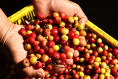 Coffee beans. Colourful of fresh coffee beans on hands Stock Image