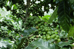 Coffee beans. Are cooked Ripe for some time So that the next harvest Stock Photos