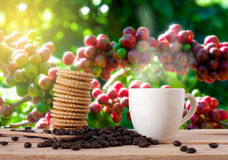 The coffee beans and cup of coffee with cracker on wooden table. Coffee beans and cup of coffee with cracker on wooden table in coffee garden . coffee break Stock Photos