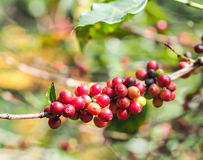 Coffee beans in day light. Raw red coffee beans in the day light Stock Photography