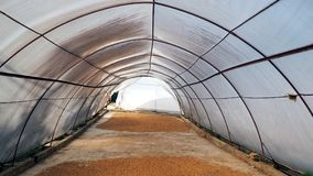 Coffee beans in drying tunnel. Coffee beans dried on sun in the drying tunnels  are exposed to sunlight Stock Images