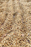 Coffee beans dried in the sun Stock Photos