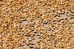 Coffee beans dried under sun in Guadeloupe Stock Photo