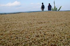 Coffee beans. Drying coffee beans Stock Images