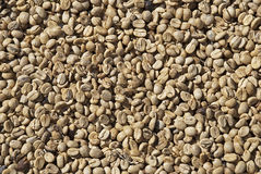 Coffee beans drying in the sun Royalty Free Stock Photo