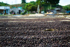 Coffee beans drying Stock Images