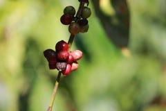 Coffee beans. From coffee estate at coorg, madikeri, Karnadaka Stock Images