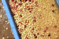 Coffee beans,In the ferment and wash method stock image