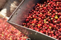 Coffee beans,In the ferment and wash method royalty free stock photo