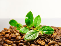Coffee beans and green branch Stock Images
