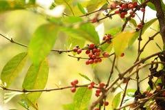 Coffee beans grow on tree Stock Photo