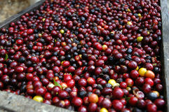Coffee beans guatemala Stock Images