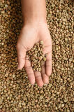 Coffee beans on hand. Close up of coffee beans on hand Royalty Free Stock Photos
