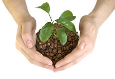 Coffee beans in the hands. Of a white background Royalty Free Stock Image