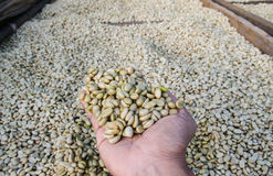 Coffee beans in hands. Drying coffee beans after the wet processing Royalty Free Stock Images