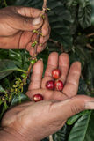 Coffee beans and hands at farm Guatemala. Coffee beans and farmers hands in Guatemala Stock Photography