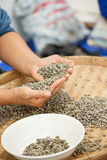 Coffee beans in hands. Coffee green beans in hands for checking quality by worker eye Stock Image