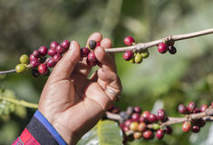 Coffee beans havesting by hand. Coffee farmer harvest the coffee beans at the organic coffee farm Stock Image
