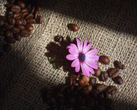 Coffee beans. On  jute background with spring flower Stock Photos
