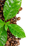 Coffee beans with leaves of coffee tree Stock Photos