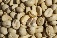 Coffee beans with parchment skin, after the pulp and outer skin Royalty Free Stock Photos