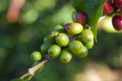 Coffee beans on plant Royalty Free Stock Photos