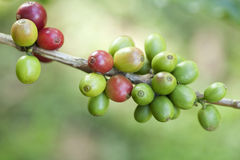 Coffee beans on plant Royalty Free Stock Photo