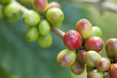 Coffee beans on plant Stock Photo