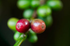 Coffee beans on plant. In Asia Royalty Free Stock Photography