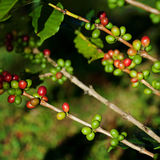 Coffee beans on plant Royalty Free Stock Photography