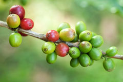 Coffee beans on plant Royalty Free Stock Images