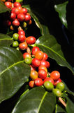 Coffee beans on plant. Coffee beans green and red on plant Stock Image