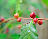 Coffee beans on plant. Closeup coffee beans on plant Royalty Free Stock Photo